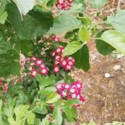 红花山楂树苗哪里有卖 山东基地红花重瓣山楂苗小苗批发