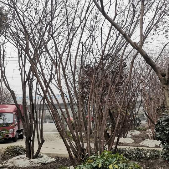 四川茶条槭价格 茶条槭多少钱一棵