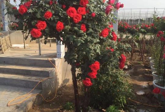 基地直销3-6公分优质树状月季