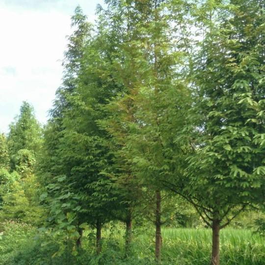 成都水杉20公分   水杉价格  水杉种植基地