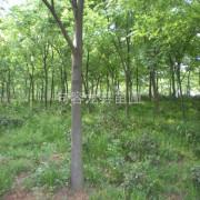 句容红榉树