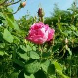 供应大马士革玫瑰苗木