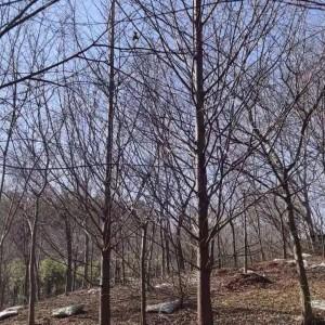 长兴水杉出售价格 水杉基地批发