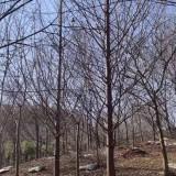 12公分水杉价格 水杉种植基地