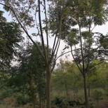 浙江黄山栾树销售 黄山栾树种植基地