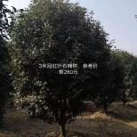 冠幅3米红叶石楠价格 红叶石楠多少钱一棵
