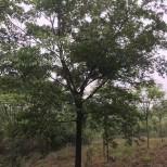 长兴朴树销售价格 朴树基地批发