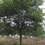 15公分朴树价格 朴树多少钱一棵