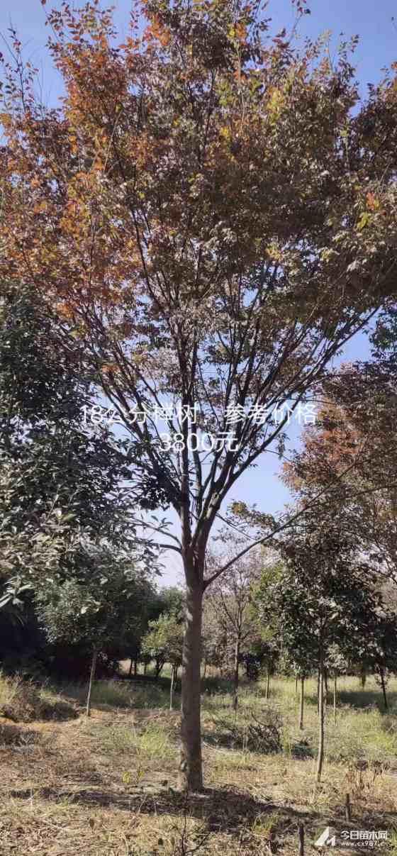 长兴榉树批发销售  榉树种植基地