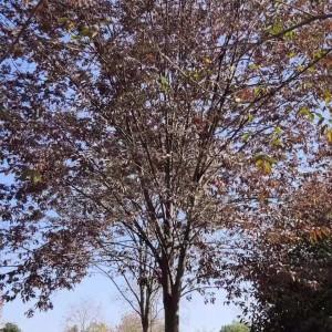 18公分榉树价格 榉树批发采购