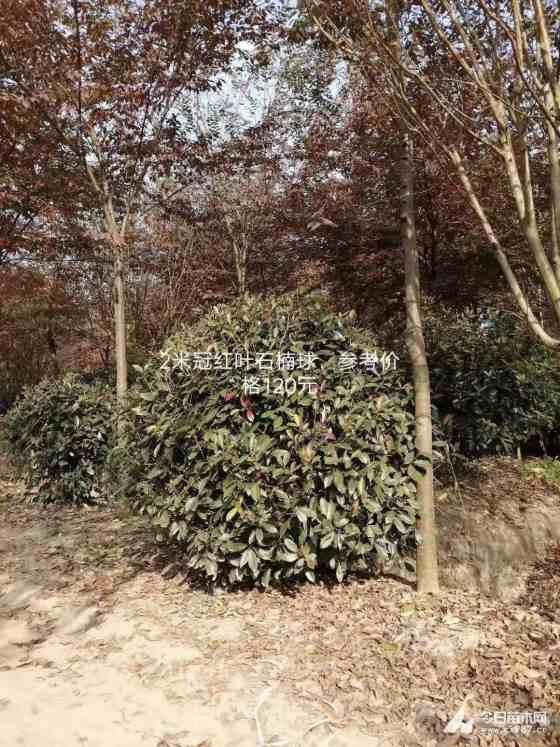 浙江红叶石楠球出售价格 红叶石楠球种植基地