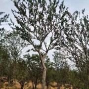15公分精品朴树价格 单杆沙朴树多少钱一棵
