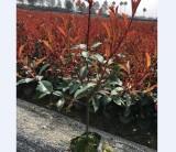 鲁宾斯红叶石楠采购到哪里多 浙江金华红叶石楠大杯基地绿化工程苗2020年