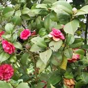 个体栽种云南茶花