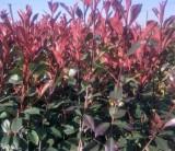 2020年红叶石楠小杯苗价格多少钱 浙江金华红叶石楠杯苗春季行情