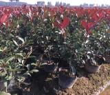 2020年浙江红叶石楠大桶苗价格多少一棵 2021金华红叶石楠大桶苗基地