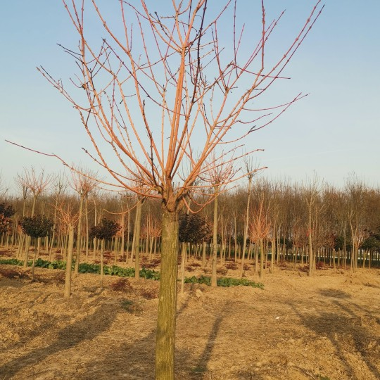 霞光丝棉木 丝棉木专业种植基地