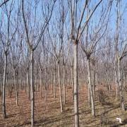 8公分栾树价格 栾树种植基地