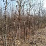 5公分皂角树价格 皂角树批发出售