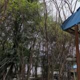 批发6-9米丛生茶条槭