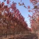 6公分美国红枫价格 美国红枫种植批发