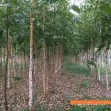 白桦树小苗多少钱一棵 10公分白桦树苗价格