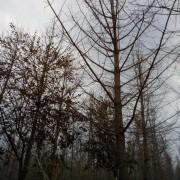 江苏银杏树出售价格 银杏树基地批发