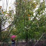 精品美国红枫 多种规格8-15苗圃直销