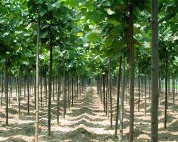 河南法桐树苗基地 法桐树价格价格