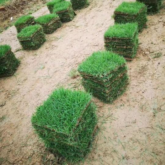 马尼拉草皮价格  马尼拉草皮基地