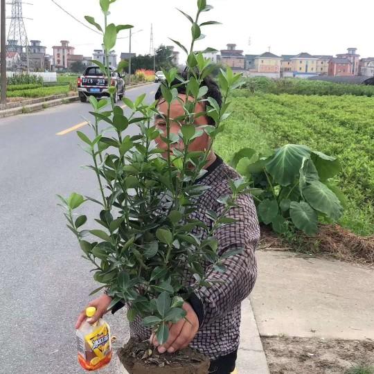精品粗壮大叶黄杨毛球 苗圃直销供应出售