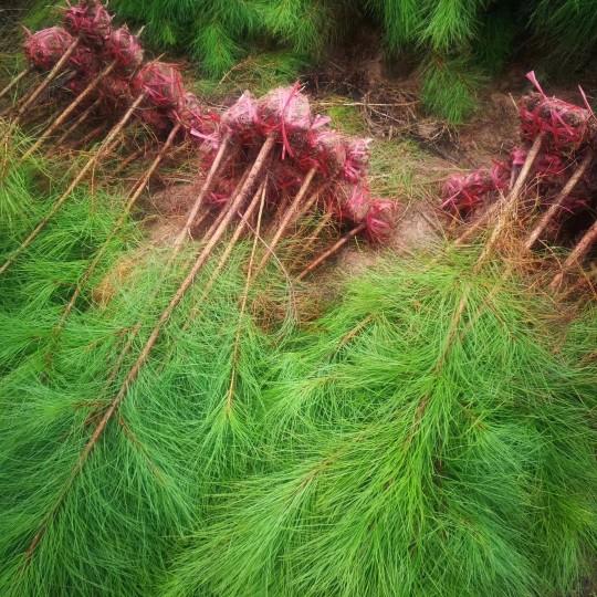 湿地松价格 湿地松基地批发