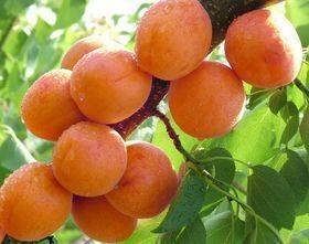 杏树苗多少钱一颗 山东杏树苗批发基地