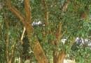 荔枝树多少钱一棵 出售35年荔枝树价格公道