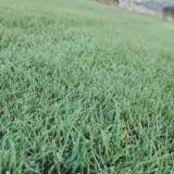 绿化草坪混播四季青剪股颖