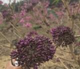 5公分紫花风铃木价格 福建紫花风铃木基地