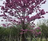 8公分紫花风铃木价格 福建紫花风铃木基地