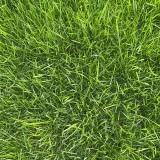 黑麦草草坪价格 厂家批发黑麦草草皮价格公道