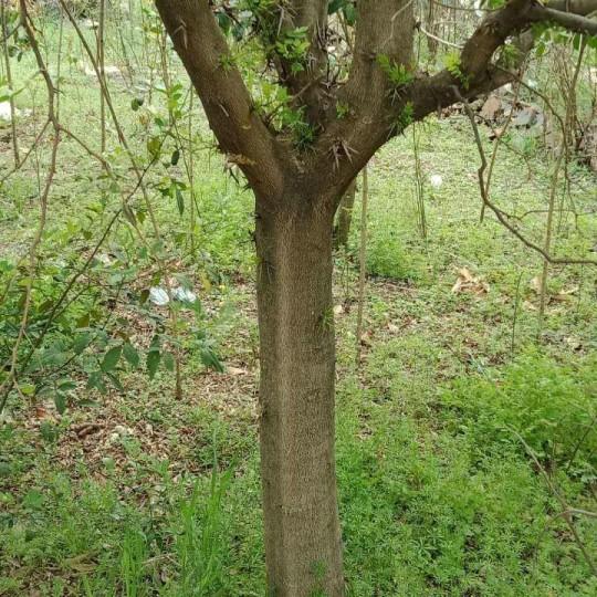 皂角树批发 10公分皂角树价格报价