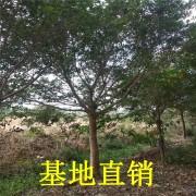 高4米红皮榕价格 红皮榕多少钱一棵
