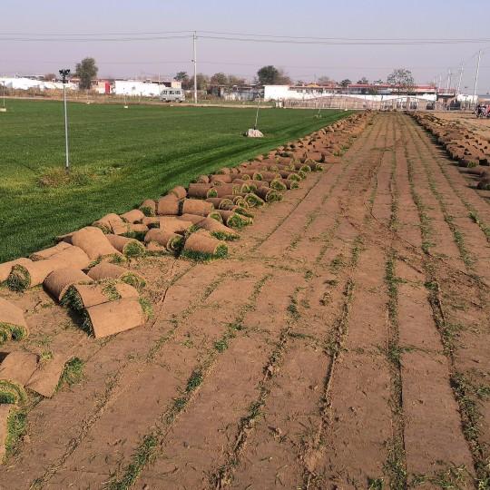 早熟禾草坪 河北早熟禾草坪种植基地