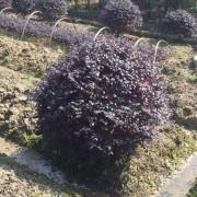 浙江红花继木球价格 红花继木球种植基地