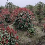 冠幅1.2米红叶石楠球价格 红叶石楠球批发销售