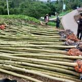 海南黄花梨树苗价格多少钱一株 哪里有正宗海南黄花梨树苗卖