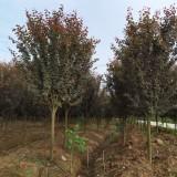 南京紫叶李出售价格 紫叶李种植基地