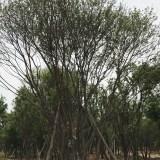 20-40公分5米-10米茶条槭陕西茶条槭精品茶条槭