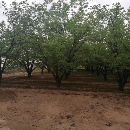 山杏树哪里有 15公分山杏树价格陕西山杏
