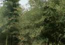 雷竹价格 四川雷竹种苗及价格