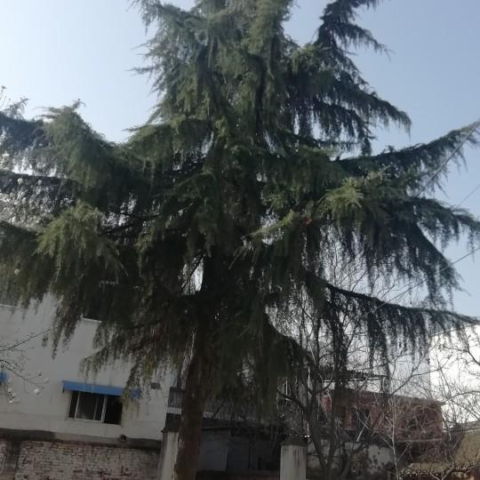 自家种植松树销售 老松树销售