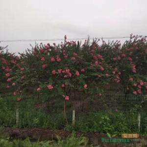 四川紫薇价格 紫薇常年供应